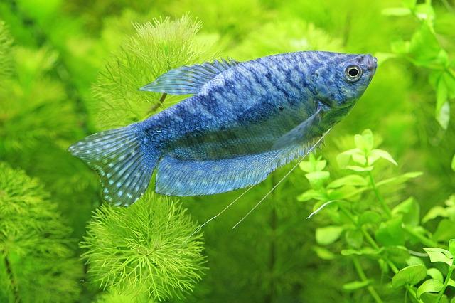 modrá rybka